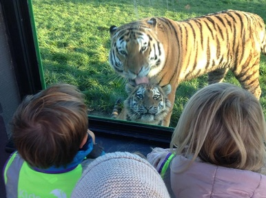 Watching the tigers at Children's Nature Nursery at Marwell Zoo